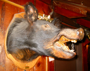 Boar's head mounted in the bar at Minnie's in Modesto