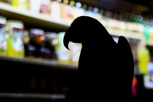"A live parrot named ""Island Blue"" walking on the bar at Hawaika in Valencia"
